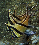 MME400004U © Stocktrek Images, Inc. Banggai cardinalfish with egg, North Sulawesi, Indonesia.