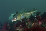 MME400062U © Stocktrek Images, Inc. Yellow spotted Atlantic ocean cod, Strytan, Iceland.