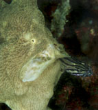 MME400074U © Stocktrek Images, Inc. Green frogfish eating striped cardinalfish.