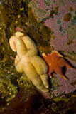 MME400134U © Stocktrek Images, Inc. Pair of yellow and orange sea stars, Antarctica.