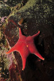 MME400147U © Stocktrek Images, Inc. Red sea star and limpet on brown rock, Antarctica.
