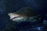 MME400170U © Stocktrek Images, Inc. Sand Tiger Shark, Blue Zoo Aquarium, Beijing, China.