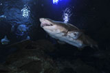 MME400171U © Stocktrek Images, Inc. Sand Tiger Shark, Blue Zoo Aquarium, Beijing, China.