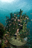 MME400329U © Stocktrek Images, Inc. School of brown cardinalfish in front of hard coral, Komodo, Indonesia.