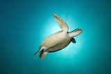 MME400404U © Stocktrek Images, Inc. Green turtle swimming with sunburst, New South Wales, Australia.