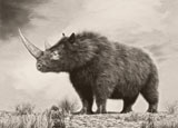 PHB600038P © Stocktrek Images, Inc. The woolly rhinoceros is an extinct species from the Pleistocene epoch.