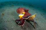 SJN400380U © Stocktrek Images, Inc. A Coconut Octopus, Lembeh Strait, Sulawesi, Indonesia.
