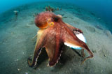 SJN400382U © Stocktrek Images, Inc. A Coconut Octopus, Lembeh Strait, Sulawesi, Indonesia.