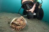 SJN400383U © Stocktrek Images, Inc. A diver looks at a Coconut Octopus, Lembeh Strait, Sulawesi, Indonesia.
