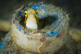 SJN400427U © Stocktrek Images, Inc. Short-head sabretooth blenny peering from a plastic bottle, Gorontalo, Indonesia.