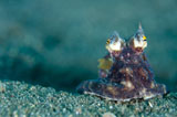 SJN400432U © Stocktrek Images, Inc. A Coconut Octopus, Lembeh Strait, Sulawesi, Indonesia.