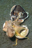 SJN400435U © Stocktrek Images, Inc. Two Coconut Octopus wrestling over clam shells, Indonesia.