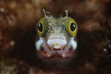 TMO400029U © Stocktrek Images, Inc. A Secretary Blenny looks out from its coral home.