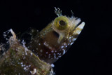 TMO400030U © Stocktrek Images, Inc. A Secretary Blenny looks out from its coral home.