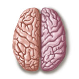 TRF700011H © Stocktrek Images, Inc. View of human brain from the top.
