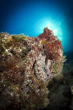 TSW400207U © Stocktrek Images, Inc. Octopus posing on reef, La Paz, Mexico.