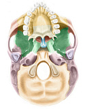 AGK700024H © Stocktrek Images, Inc. Colored base of human skull, inferior view.