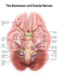 AGK700027H © Stocktrek Images, Inc. Anatomy of human brain stem and cranial nerves.