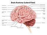 AGK700029H © Stocktrek Images, Inc. Human brain anatomy, lateral view.