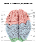 AGK700031H © Stocktrek Images, Inc. Superior view of human brain with colored lobes and labels.