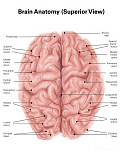 AGK700033H © Stocktrek Images, Inc. Human brain anatomy, superior view.