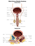 AGK700035H © Stocktrek Images, Inc. Anterior view and sagittal view of male urinary bladder.