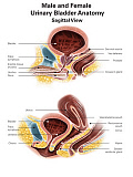 AGK700047H © Stocktrek Images, Inc. Anatomy of male and female urinary bladder, with labels.