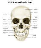 AGK700052H © Stocktrek Images, Inc. Anterior view of human skull, with labels.