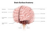 AGK700054H © Stocktrek Images, Inc. Brain surface anatomy, with labels.
