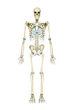 AGK700059H © Stocktrek Images, Inc. Anterior view of human skeletal system.