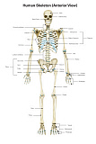AGK700060H © Stocktrek Images, Inc. Anterior view of human skeletal system, with labels.