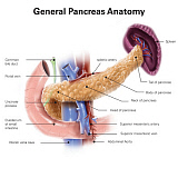 AGK700062H © Stocktrek Images, Inc. Anatomy of human pancreas, with labels.