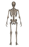 EDV700043H © Stocktrek Images, Inc. Rear view of human skeleton.
