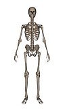 EDV700044H © Stocktrek Images, Inc. Front view of human skeleton.
