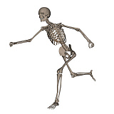 EDV700048H © Stocktrek Images, Inc. Front view of human skeleton running.