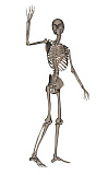 EDV700049H © Stocktrek Images, Inc. Front view of human skeleton waving goodbye.