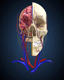 STK701091H © Stocktrek Images, Inc. Human skull showing brain and circulatory system.