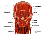 STK701233H © Stocktrek Images, Inc. Facial muscles of the human head (with labels).
