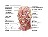 STK701234H © Stocktrek Images, Inc. Facial muscles of the human face (with labels).