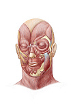 STK701235H © Stocktrek Images, Inc. Facial muscles of the human face.