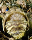 BBA400031U © Stocktrek Images, Inc. A male jawfish with a brood of incubating eggs in his mouth.