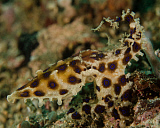 BBA400077U © Stocktrek Images, Inc. Blue-ringed octopus, Lembeh Strait, Indonesia.