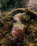 BBA400112U © Stocktrek Images, Inc. A blenny with a threatening posture at its own reflection.