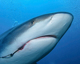BBA400127U © Stocktrek Images, Inc. A Caribbean reef shark with a hook embedded in its mouth.