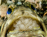 BBA400130U © Stocktrek Images, Inc. A jawfish aerating eggs in its mouth in West Palm Beach, Florida.