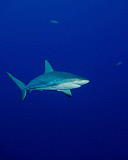 BBA400150U © Stocktrek Images, Inc. A Caribbean reef shark in the Turks and Caicos.