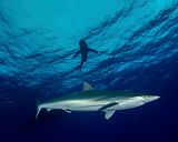 BBA400160U © Stocktrek Images, Inc. A silky shark at Cat Island in the Bahamas.