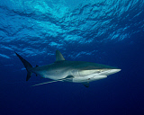 BBA400161U © Stocktrek Images, Inc. A silky shark with an embedded hook and line at Cat Island in the Bahamas.