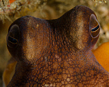 BBA400179U © Stocktrek Images, Inc. The eyes of a common octopus, West Palm Beach, Florida.