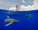 BBA400188U © Stocktrek Images, Inc. A boat captain watches an oceanic whitetip shark below at Cat Island in the Bahamas.